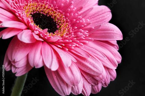 Fotobehang Gerbera Pink gerbera closeup with water drops on petals, macro flower photo