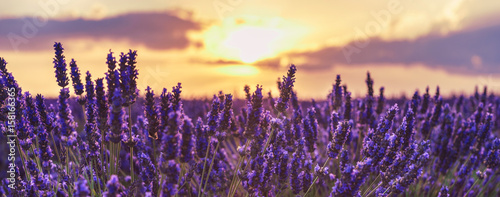 Photo sur Aluminium Lavande Lavender closeup on the background of the setting sun.Lavender in the sunset rays of the sun.Lavender field at sunset,Provence,France.Beautiful background with lavender and sunset.