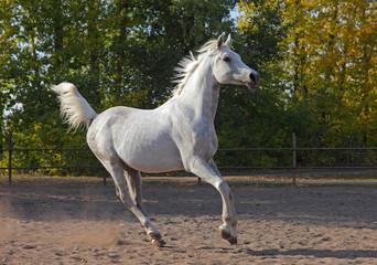 Shagya Arabian horse - running on meadow