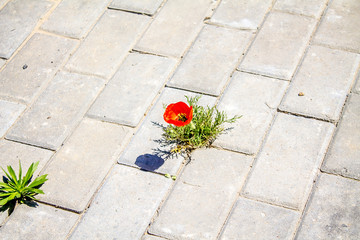 Steppe poppy in the city on the sidewalk