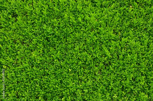 zielone-liscie-jako-zywoplot