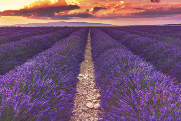 FototapetaBeautiful sunset on lavender fields in Provence, France.Endless rows of lavender. The path in the lavender field.Lavender field at sunset.