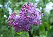 Flowering branches of lilac in the spring.