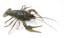 Crayfish Isolated On White Bac...