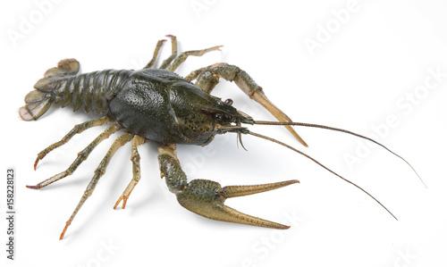 Canvastavla crayfish isolated on white background