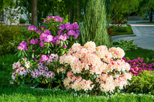 Blooming Rhododendron Or Azalea In The Park