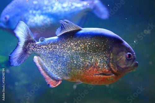 big piranha fish Canvas-taulu