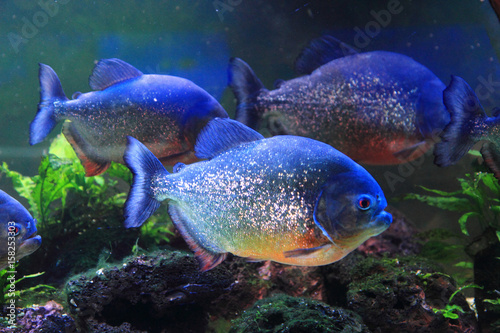 big piranha fish Tablou Canvas
