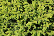 Close-up Of Spruce Picea Glauca