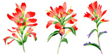 Wildflower Indian Paintbrush Flower In A Watercolor Style Isolated.