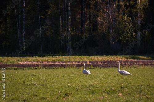Fotografie, Obraz  Whooper swans on green hayfield