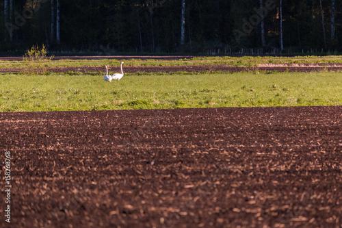 Fotografie, Obraz  Whooper swans on plowed field