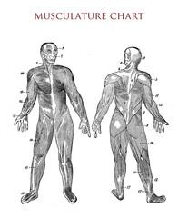 Human body: muscle chart, vintage illustration