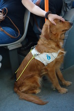 Guide Dog Patted By His Owner In The Bus