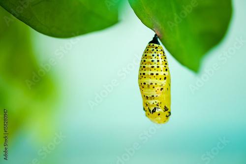 Foto Chrysalis of butterfly