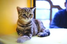 European Shorthair Gray Cat