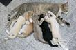 Close up of cat nursing her little kittens, The cat feeds a kittens.