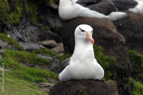 Fotografía  Schwarzbrauenalbatros auf Saunders Island der Falklands