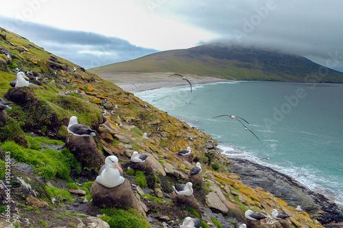 Cuadros en Lienzo Schwarzbrauenalbatrosse auf Saunders Island der Falklands