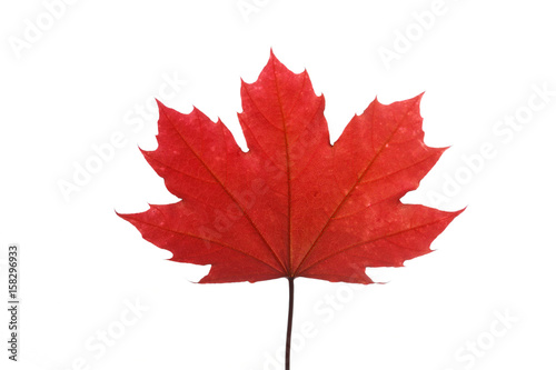 Fotografie, Obraz  red maple leaf isolated on white background