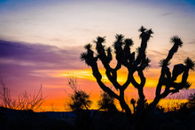 Joshua Tree Back Lit By Colorf...