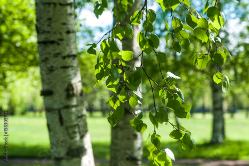 Fotografie, Obraz  Young birch branches in the sunlight