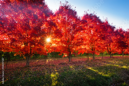 Poster Cuban Red Pear trees in autumn peak