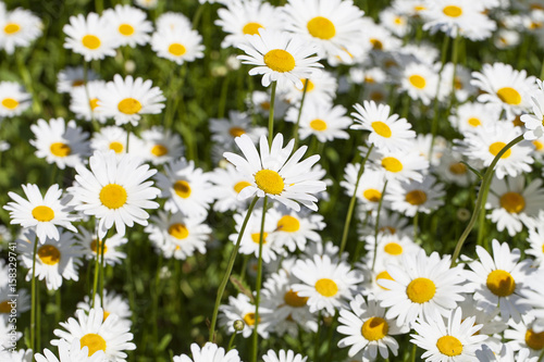 Leucanthemum vulgare, flowers blooming in a meadow, close up Canvas Print