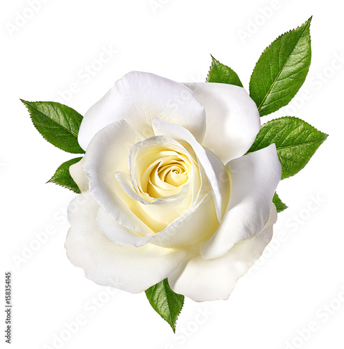 white rose isolated on white
