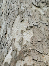Sycamore Bark Rough Textured With Layers