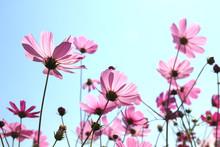 Beautiful Cosmos Flowers Blooming In Sky