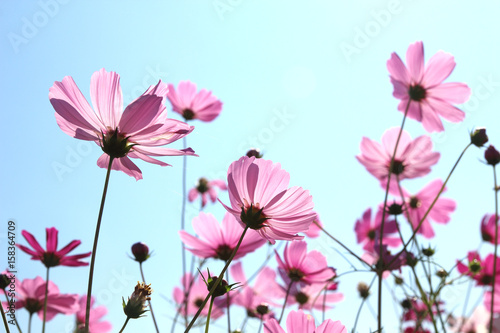 Papiers peints Univers Beautiful Cosmos flowers blooming in sky