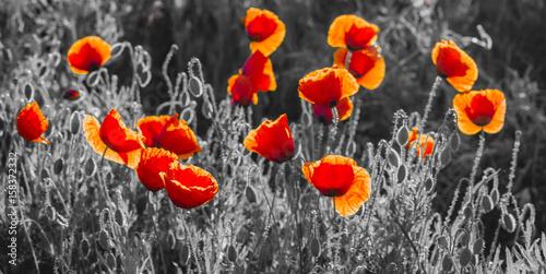 pomaranczowo-czerwone-kwiaty-na