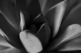 Tekstura lub tło, bardzo kolorowe sukulenty w fotografii makro, obraz czarno-biały - 158373317