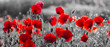 Leinwandbild Motiv  red poppies, black and white