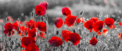 Foto op Plexiglas Weide, Moeras red poppies, black and white