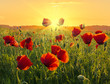Red poppies in the light of the rising sun