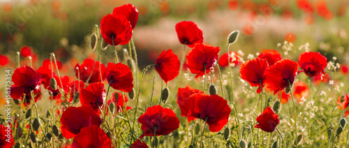 Foto op Canvas Poppy Panorama with red poppies