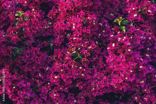 Murais de parede Beautiful background of blooming Bougainvillea flowers in the green garden