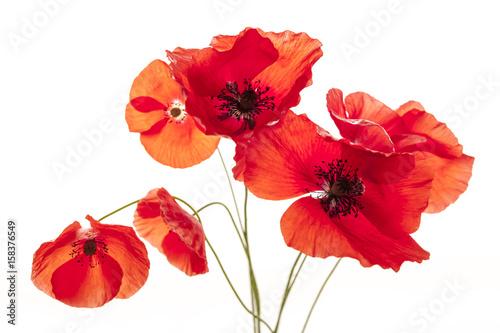Foto op Canvas Poppy Poppy flowers on white