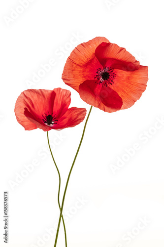 Foto op Canvas Poppy Poppy flowers on white