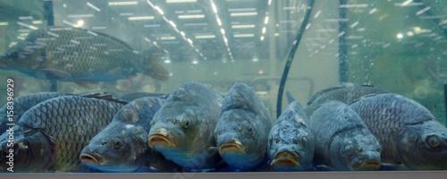 Carps in the aquarium Canvas Print