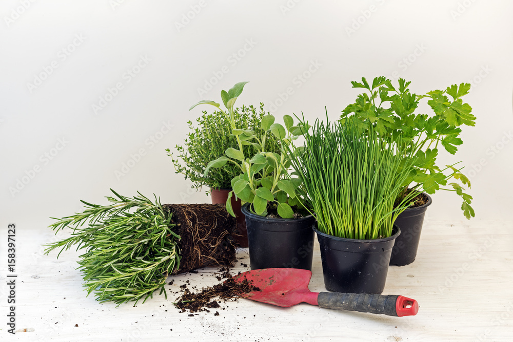 Fototapety, obrazy: kitchen herb plants in pots such as rosemary, thyme, parsley, sage, and chives for fresh and healthy cooking and a red shovel against a bright gray background with copy space
