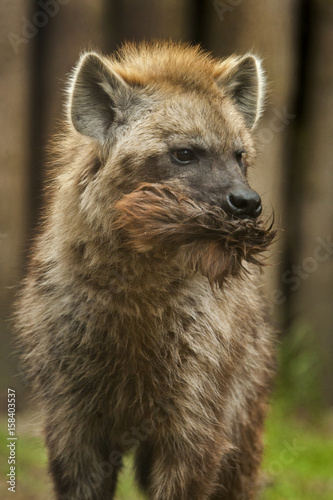 In de dag Hyena Young hyena with fur in its mouth