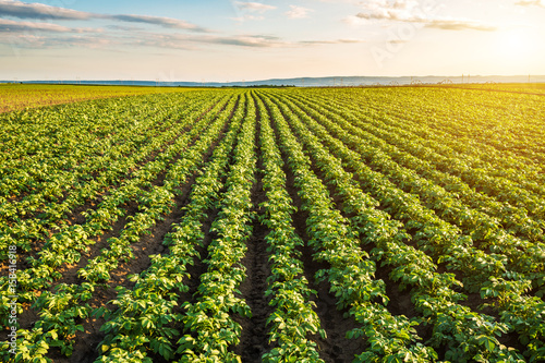 Photographie Green field of potato crops in a row