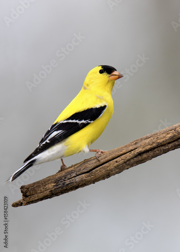 Obraz na plátne American Goldfinch (Spinus tristis) perched on a branch with a white background