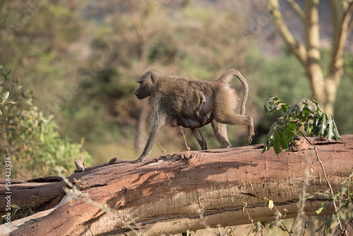 Mom and baby baboon