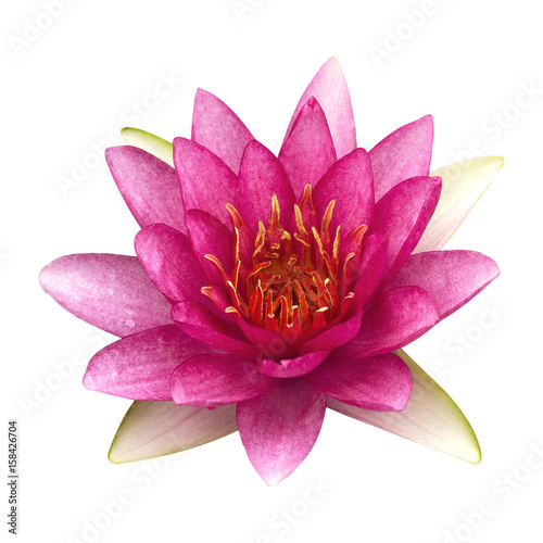 Tuinposter Gerbera The pink lotus isolated on white background