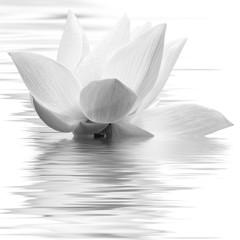 Obraz fleur blanche de lotus en noir et blanc