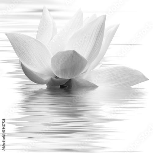 Fleur Blanche De Lotus En Noir Et Blanc Buy This Stock Photo And